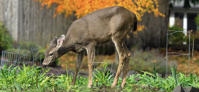 Deer can be a nuisance, so keep animals away from your yard